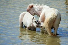 Horses on the pond. stock image