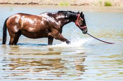 Horses at pond. Horses on a pond in hot summer day Royalty Free Stock Photo