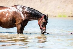 Horses at pond. Horses on a pond in hot summer day Royalty Free Stock Image