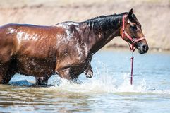 Horses at pond. Horses on a pond in hot summer day Stock Photo