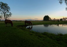 Horses on a pond. Stock Image