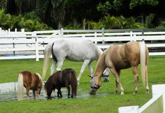 Horses and Miniature Horses Royalty Free Stock Photos