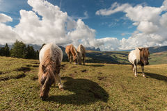 Horses and ponies grazing on meadow in Dolomites Royalty Free Stock Photography