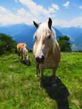 Horses ponies mares stallions in green pasture in Alps Stock Image