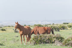 Horses and Ponies Spanish race Royalty Free Stock Photo