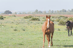 Horses and Ponies Spanish race Royalty Free Stock Image