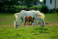 Horses and pony. White adult horses and a brown pony in a grassy field Stock Photos