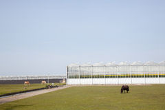 Horses and pony grazing in front of greenhouses Stock Images