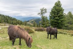 Horses and Pony at a paddock, Austria Royalty Free Stock Photos