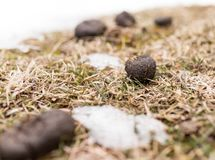 Horses poop in the snow. In the park in nature Stock Photography