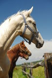 Horses portrait 5 Royalty Free Stock Images