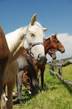 Horses portrait 3 Royalty Free Stock Photography