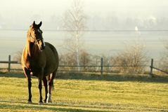 Horses portrait on a field at sunset. Horse portrait standing on a grassland at sunset, rolling hills and farmland in the background Stock Photo