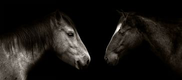 Horses portrait isolated. On black Royalty Free Stock Image