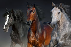 Horses portrait in motion. Horses portrait run isolated on black background Royalty Free Stock Image