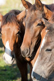 Horses portrat. Grazing horses in the pasture - portrat Stock Photography