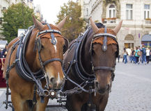 Horses in Prague. This horses is a tourism transport in the old town of Prague Royalty Free Stock Images