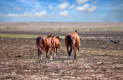 Horses on the Prairie Royalty Free Stock Photos