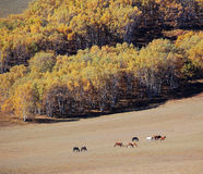 Horses in prairie beside autumn forest Stock Photography