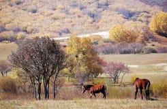 Horses in autumn prairie. Horses in prairie in autumn royalty free stock images