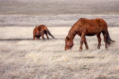Horses in prairie Stock Photography