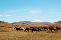 Horses in prairie Stock Image