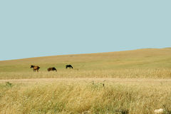 Horses on pratum. Horses graze on pratum in a countryside of Israel Stock Image
