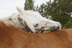 Horses preen Royalty Free Stock Image
