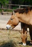 Horses of Przewalski. By feeding stock image
