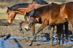 Horses in a puddle Stock Photos