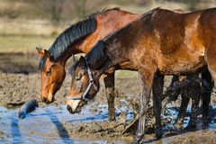 Horses in a puddle Royalty Free Stock Photo