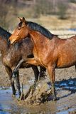 Horses in a puddle. Dirty horses in a puddle at spring time stock photography