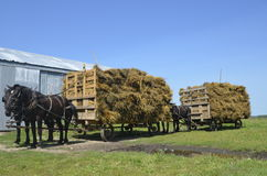 Horses pulling loads of oat bundles Royalty Free Stock Photography