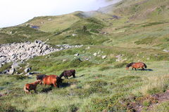 Horses in Pyrenees. Horse in Ariège,Midi-Pyrenees region of France Stock Photos