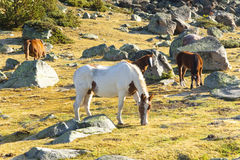 Horses - Pyrenees mountain Royalty Free Stock Images