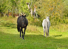 Horses quarreled and disperse in different directions Stock Images