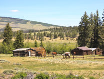 Horses in ranch corral. Horses grazing in a post and rail corral on an historic American ranch in Colorado with authentic log cabins and barns against a backdrop Royalty Free Stock Photos