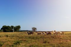 Horses in a ranch with an old barn in the background in rural Texas at sunset, USA