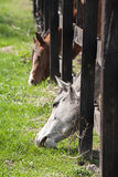 Horses Reaching Through Fence Stock Images