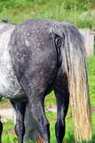 Horses rear end or arse. The rear end or arse of a horse royalty free stock photography