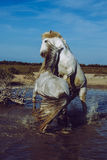 Horses rearing and biting. Two white stallions reaing up and fighting each other in water Royalty Free Stock Photo