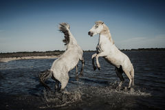 Horses rearing and playing stock image