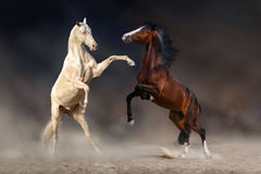 Horses rearing up Stock Photography
