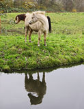 horses and reflection Stock Photo
