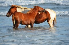 Horses relaxing at the beach, Playa El Espino Royalty Free Stock Image