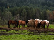 Horses in reservation Stock Photo