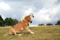 Horses resting on the meadow. Stock Photography