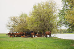 Horses resting under trees by the river Royalty Free Stock Photography
