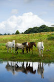 Horses at the river. And reflections in the river at sunny summer day Royalty Free Stock Photography