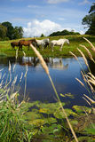 Horses at the river. And reflections in the river at sunny summer day Royalty Free Stock Photos